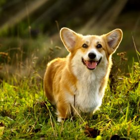 Вельш-корги пемброк описание породы, фото, характеристика, клички для собак, цена щенков, гипоаллергенный: нет
