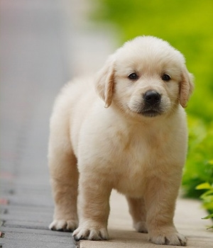щенок ретривер золотистый фото