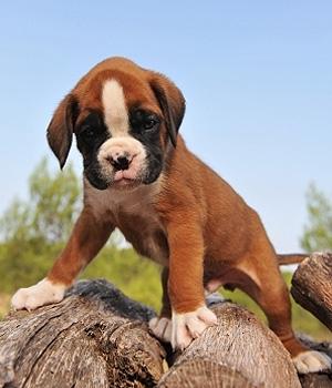 Боксёр щенок фото
