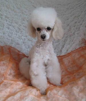 Белый Пудель щенок фото