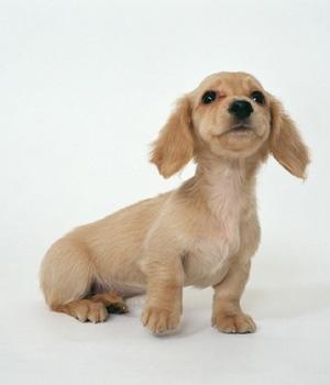 Такса щенок фото