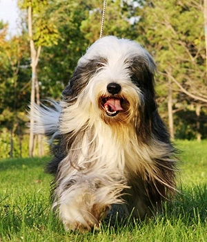 Бородатый колли щенок фото