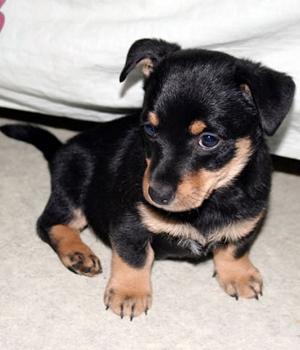 Ланкаширский хилер щенок фото