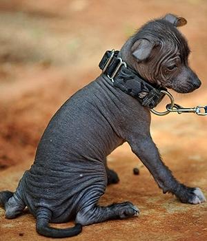 Шолоитцкуинтли щенок фото