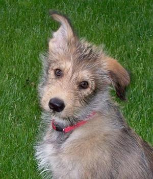 Пикардийская овчарка щенок фото