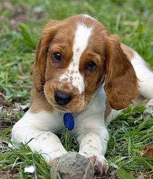 Вельш спрингер спаниель щенок фото