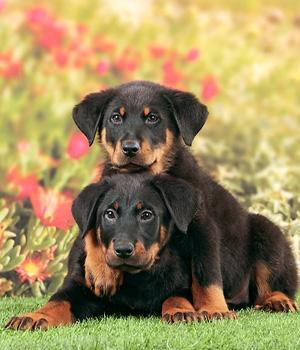 Босерон щенок фото