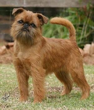 Самые маленькие породы собак в мире фото цена ТОП18