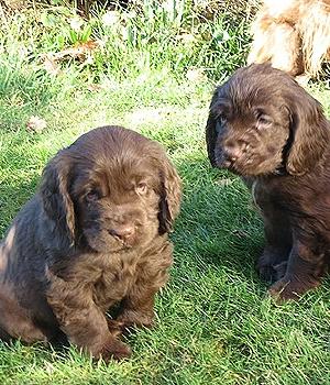 Суссекс-спаниель щенок фото