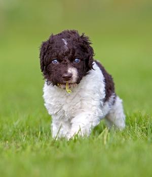Веттерхун щенок фото