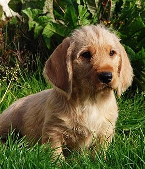 Рыжий Бретонский Бассет щенок фото
