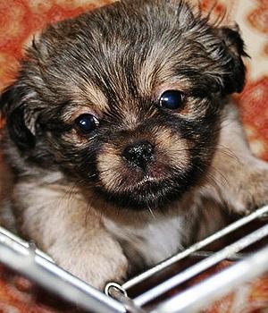 Тибетский спаниель щенок фото