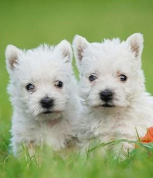 Вест-хайленд-уайт-терьер щенок фото