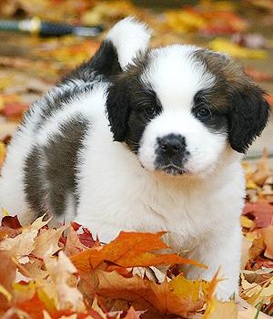 Сенбернар щенок фото