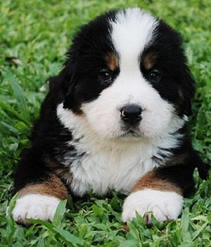 Бернский зенненхунд щенок фото