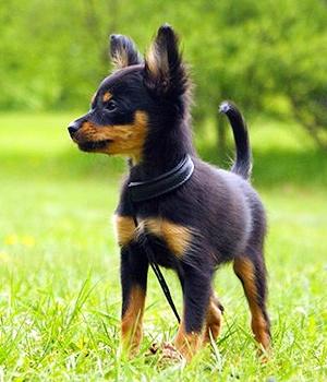 Русский той-терьер щенок фото