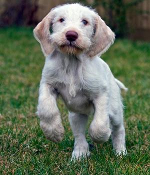 Спиноне щенок фото