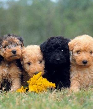 Лейкленд-терьер щенок фото