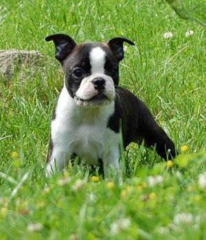 Бостон-терьер щенок фото