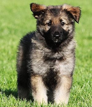 Шилонская овчарка щенок фото