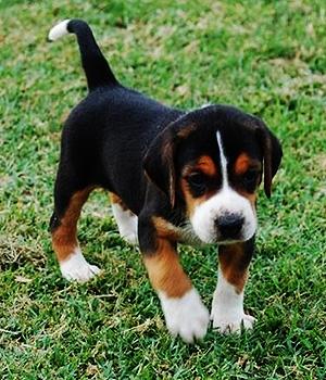 Гончая гамильтона щенок фото