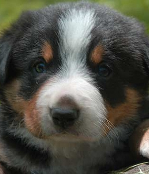 Энтлебухер зенненхунд щенок фото