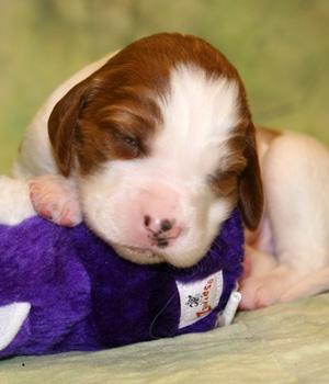 Ирландский красно-белый сеттер щенок фото