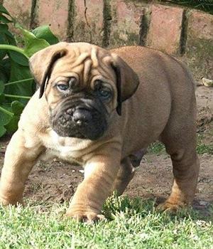 Бурбуль щенок фото