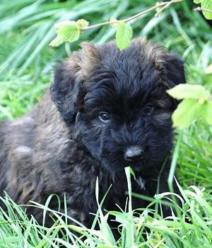 Фландрский бувье щенок фото