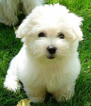 Котон де Тулеар щенок фото