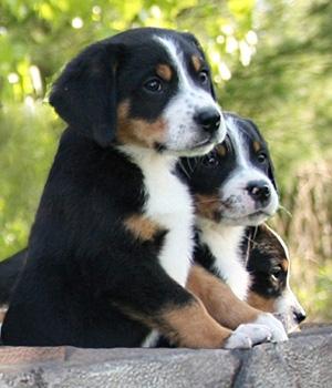 Большой швейцарский зенненхунд щенок фото