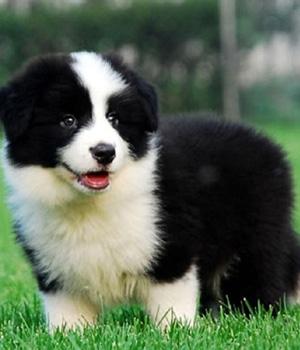 Бордер-колли щенок фото