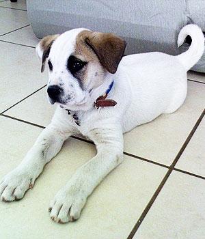 Американский питбультерьер щенок фото