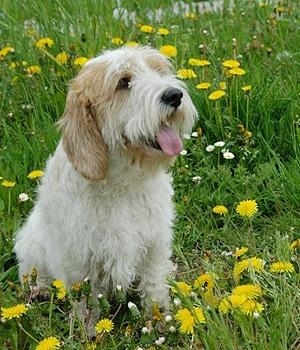 Вандейский бассет-гриффон щенок фото