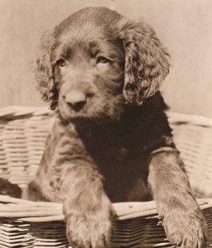 Немецкий лангхаар щенок фото
