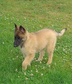 Бельгийская овчарка тервюрен щенок фото