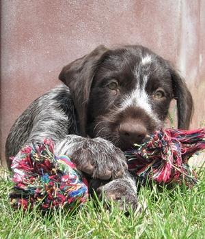 Дойч-Дратхаар щенок фото