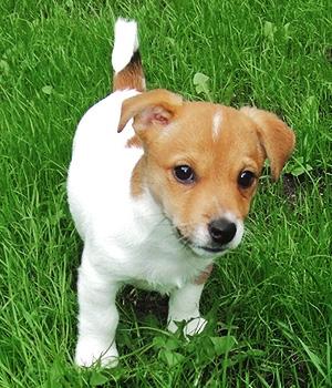 Джек-рассел-терьер щенок фото