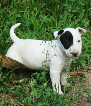 Миниатюрный бультерьер щенок фото