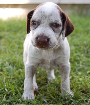 Бурбонский бракк щенок фото