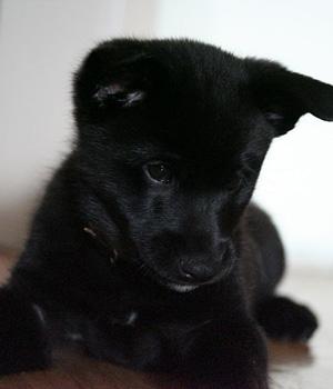 Норвежский эльгхунд черный щенок фото