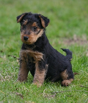 Гиппоаллергенные породы собак список с фотографиями и