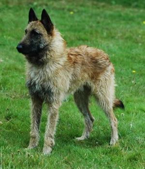Бельгийская овчарка лакенуа фото