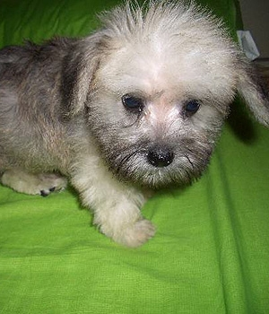 Цвергшнауцер щенок фото