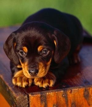 Американская черно-подпалая енотовая гончая щенок фото