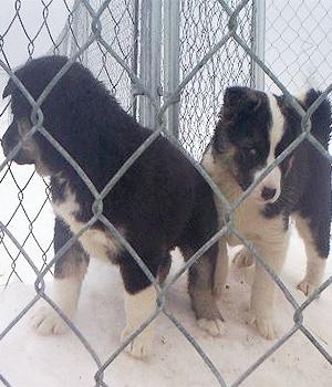 Сеппальская Сибирская ездовая собака щенок фото