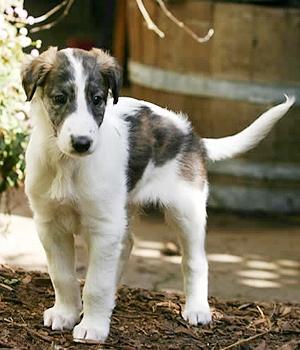 Шелковистый виндхаунд щенок фото
