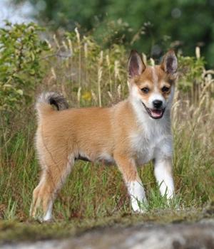 Норвежский лундехунд щенок фото