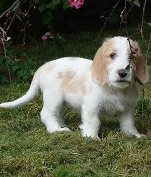Малый вандейский бассет-гриффон щенок фото