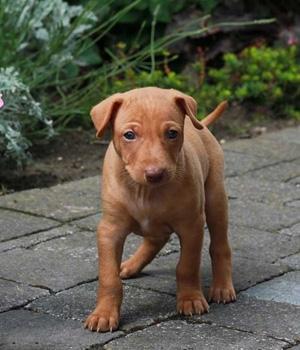 Чирнеко дель Этна щенок фото